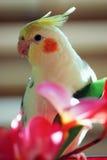 papugi cockatiel żółty Obrazy Stock