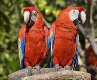 papugi czerwone Fotografia Royalty Free