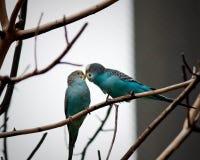 papugi dwa Obraz Stock