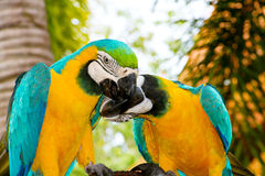 papugi dwa Zdjęcia Stock