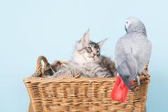 Papugi i Maine coon figlarki obrazy stock