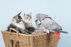 Papugi i Maine coon figlarki fotografia stock