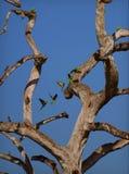 Papugi lata w linii obrazy royalty free