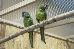 Papugi muzealne obrazy royalty free