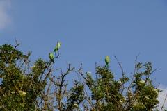 Papugi na drzewach Zdjęcia Royalty Free