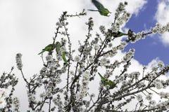 Papugi na migdałowym drzewie w pełnym kwiacie Zdjęcie Royalty Free
