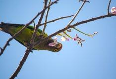 Papugi przy Ocotal plażą w Guanacaste, Costa Rica - Zdjęcie Stock