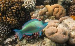 Papugi ryba Obrazy Stock