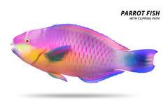 Papugi ryba odizolowywająca na białym tle Parrotfish z ci?ciem za ?cinek ?cie?ka fotografia stock