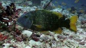 Papugi rybi podwodny je koral na dnie morskim w Maldives zbiory