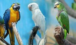 papugi trzy Zdjęcia Royalty Free