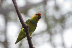 Papugi z pięknym i colourful piórkiem obrazy stock