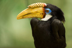 Papuna hornbill Royalty Free Stock Photos