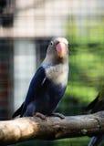 Papuzi Agapornis fischeri (Fischer Lovebird) Fotografia Stock