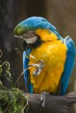 papuzi błękit kolor żółty Fotografia Stock
