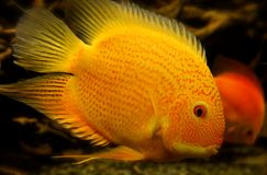 Papuzi  Cichlid ryba Krwista papuga, Parrotfish (,) Zdjęcia Royalty Free