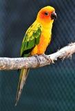 papuzi conure słońce Obraz Royalty Free