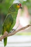 Papuzi Cucha w drzewie Zdjęcie Royalty Free