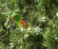 papuzi czerwony oskrzydlony Obrazy Royalty Free