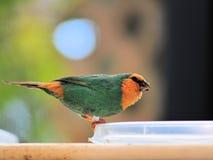 Papuzi Finch łasowanie zdjęcia stock