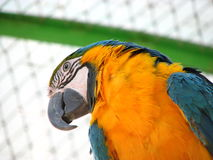 Papuzi kakadu Zdjęcia Royalty Free