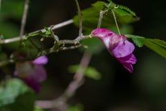 Papuzi kwiat, rzadki kwiat Zdjęcie Stock
