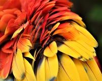 Papuzi piórka Fotografia Stock