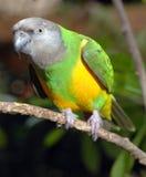 papuzi Senegal Zdjęcia Royalty Free