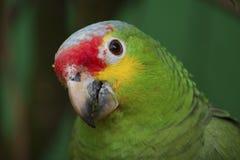 papuzi tropikalny Obrazy Stock