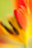 Papuzi tulipan Fotografia Stock