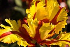 papuzi tulipan Zdjęcie Stock