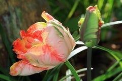 Papuzi tulipan zdjęcia royalty free