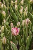 Papuzi tulipany Zdjęcie Stock