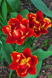 Papuzi tulipany Zdjęcie Royalty Free