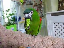 Papuzi wzbogacenie Mini ara żuć papier z fundą inside zbiory wideo