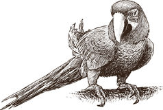 Papuzia ara Obrazy Stock