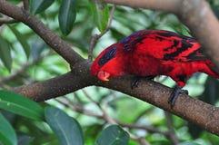 papuzia błękit czerwień Zdjęcia Royalty Free