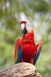 papuzia czerwień Zdjęcie Stock