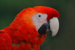 Papuzia Szkarłatna ara, arony Macao, czerwień kierowniczy portret w ciemnozielonym tropikalnym lesie, Costa Rica Obrazy Stock