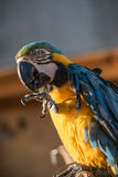 Papuzia zieleń Zdjęcie Royalty Free