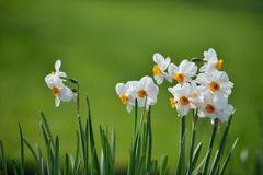 Papyraceus del narciso, fiori di Paperwhite Fotografia Stock