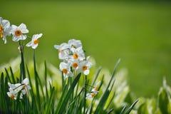 Papyraceus del narciso, fiori di Paperwhite Fotografie Stock Libere da Diritti