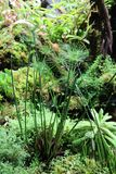 Papyrus Cyperus papyrus is a herbaceous perennial plant of the Osok family Royalty Free Stock Photography