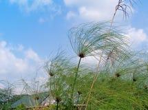 Papyrus dans le vent photos libres de droits