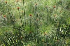 Papyrus grass stock photos