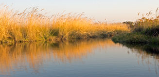 Papyrus grass on the water Stock Photo