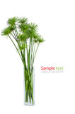 Papyrus green plant Stock Images