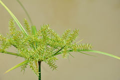 Papyrus green plant Royalty Free Stock Photo