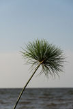 Papyrus on lakeshore. Cyperus papyrus on shore of lake victoria, mwanza, tanzania Stock Photos