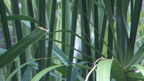 Papyrus leaves in a fish pond on bequia stock video